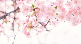 Photo of Cherry Blossoms in Japan