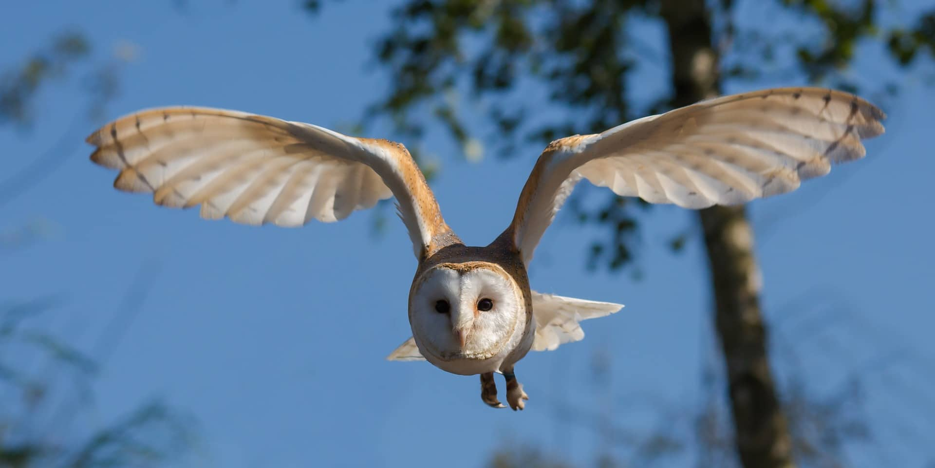 Photo of barn owl